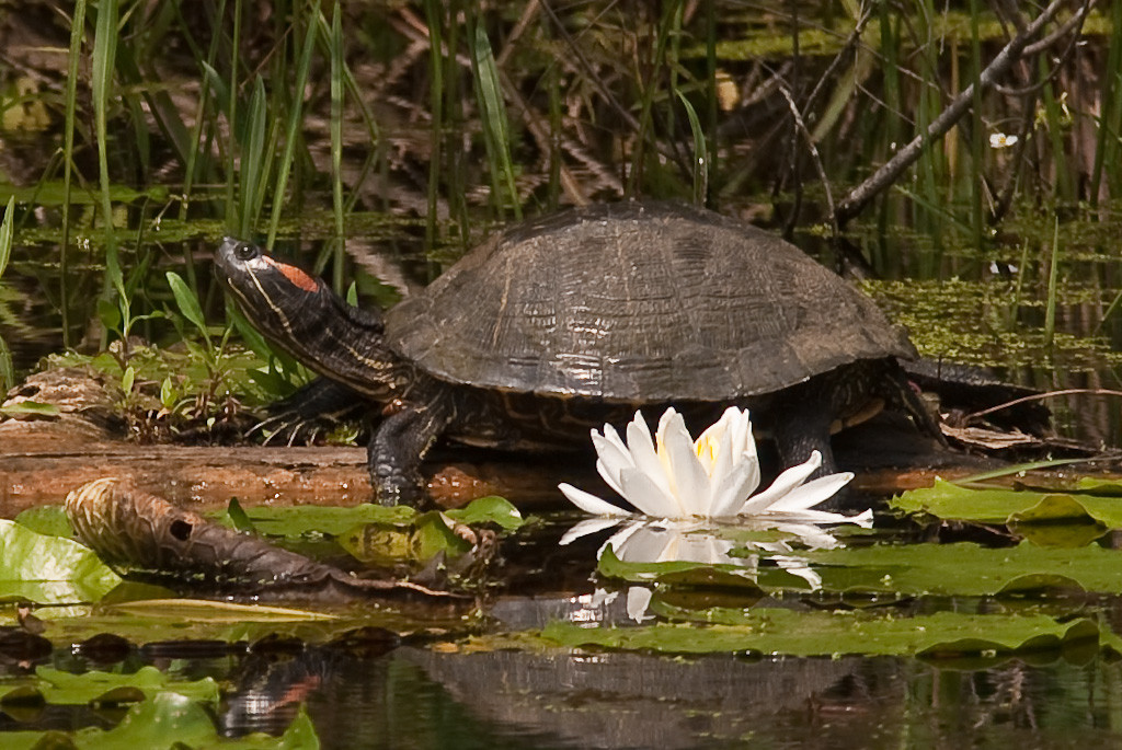 Turtle on lilly pads